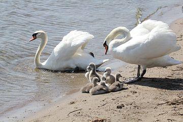 Zwanen familie in Almere von Joan Plaatsman