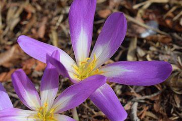 Bloem violet van laura Meeuwsen