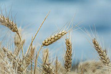 Le blé sur Marianne Twijnstra-Gerrits