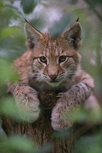 young cub of Lynx... Eurasian Lynx *Lynx lynx*