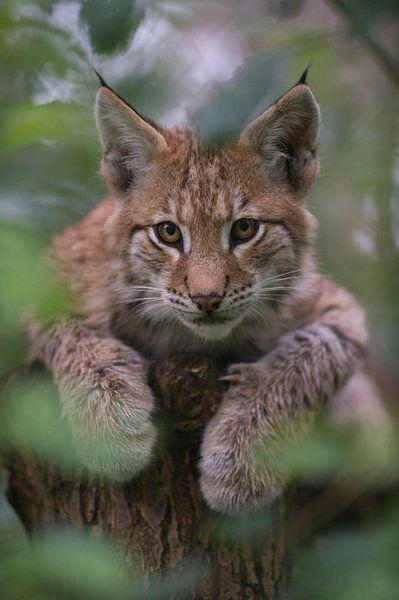 young cub of Lynx... Eurasian Lynx *Lynx lynx* van wunderbare Erde