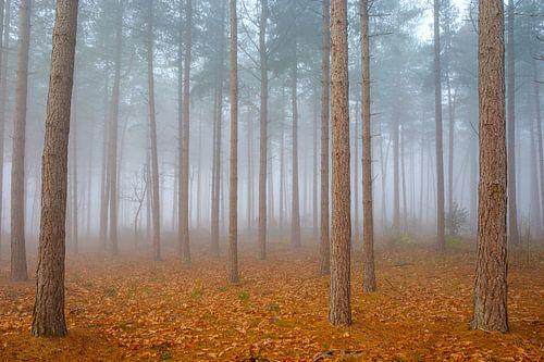 Kiefernwald im Nebel
