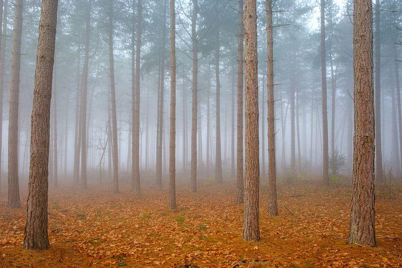 Kiefernwald im Nebel von Johan Vanbockryck