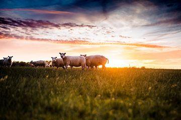 Schafe auf der Wiese bei Sonnenuntergang von Lindy Schenk-Smit