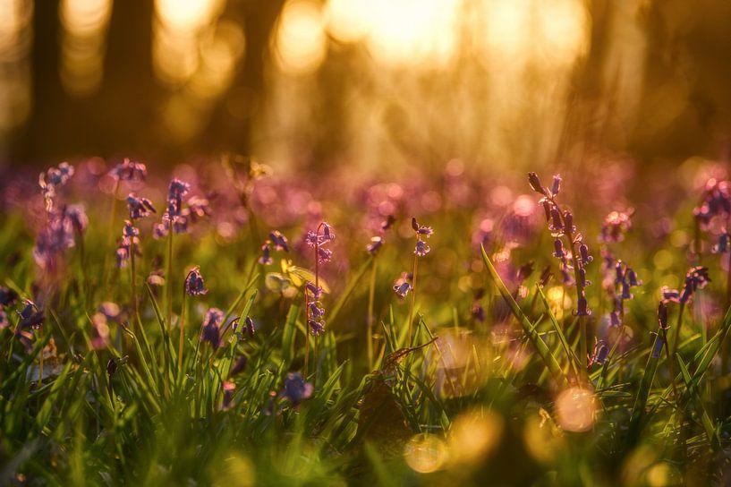 Blauwe boshyacinten in de ochtendzon van Jim De Sitter