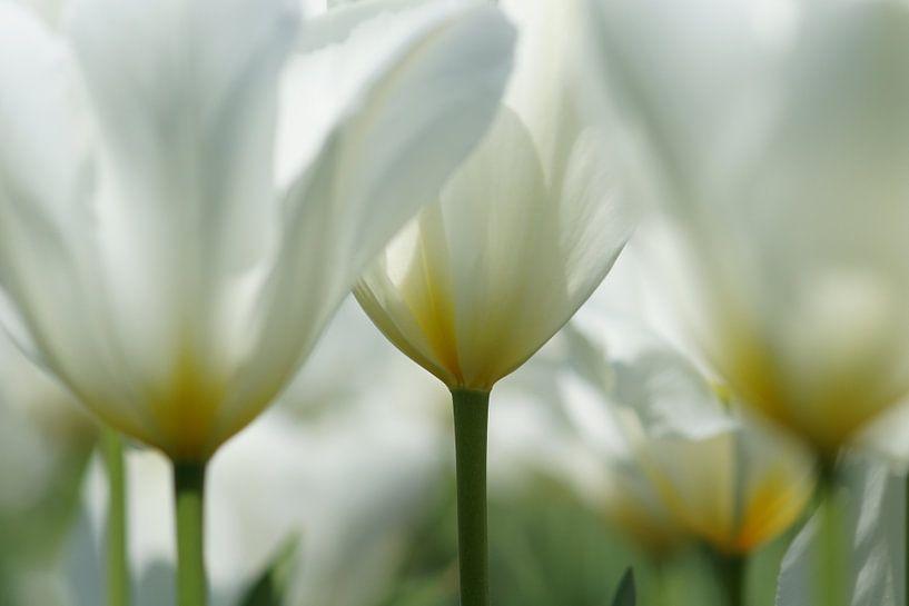 Witte tulpen van Carla Mesken-Dijkhoff