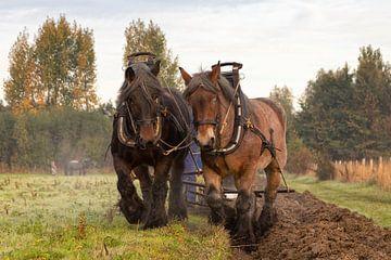 Ploegen in de herfst met trekpaarden van Bram van Broekhoven