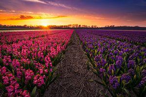 Spring Fields - Lente - Hyacinten