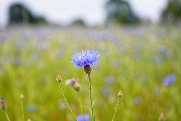 Eine Mohnblume in einem Blumenfeld von Jos Venes