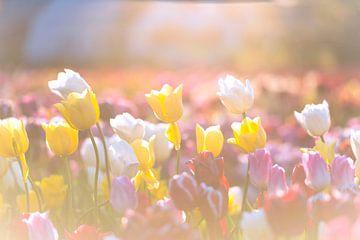Bunte Tulpe blüht auf einem Gebiet während des Sonnenuntergangs von