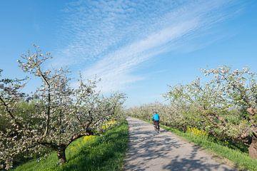 bloeiende appelboom tussen geel koolzaad langs de appeldijk in de lente met fietser
