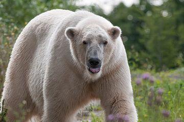 Eisbär : Tierpark Blijdorp von Loek Lobel