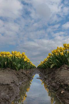 Gele tulpen met weerspiegeling