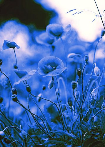 Poppy beeld in Blue van Falko Follert