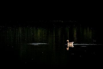 L'oie dans le noir