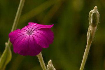 Frühlingsblume im Morgentau von t.ART