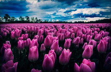 Tulpenveld van Marcel Ohlenforst
