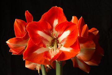 Rode amaryllis van