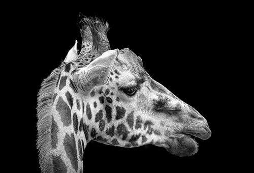 Kop van een giraffe
