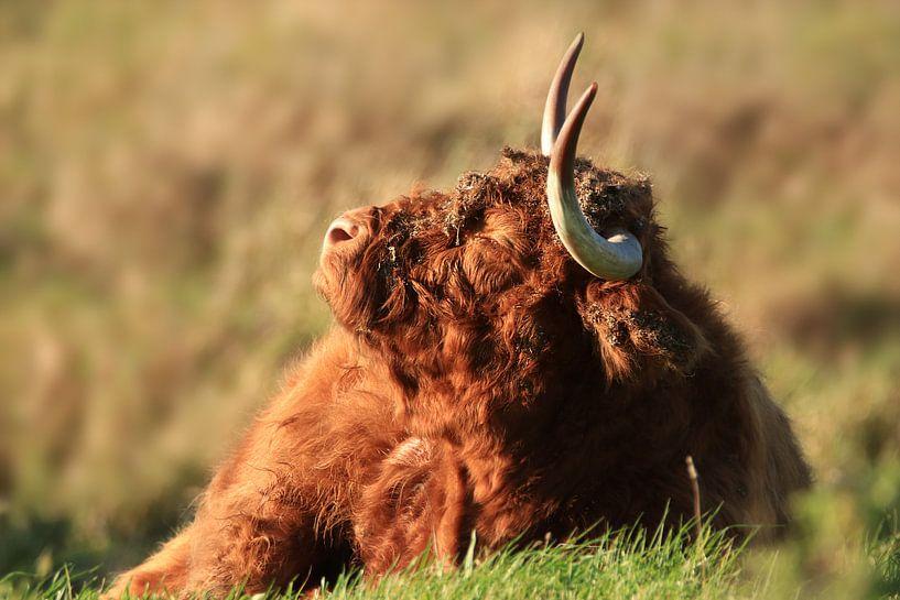 Schottische Highlander-Kuh von Fotografie Sybrandy