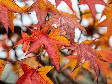 Herbstliche Blätter von Luc de Zeeuw