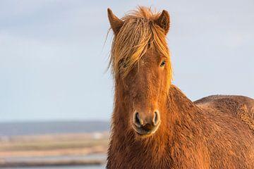 IJslands paard  von Gernanda Vos