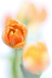 Finally Sunshine... (bloem, tulp)