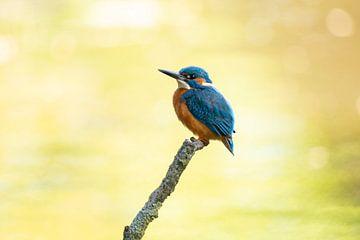 IJsvogel, Alcedo Atthis van Gert Hilbink