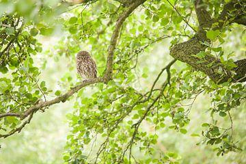 Steenuil - Little Owl van Aukje Ploeg
