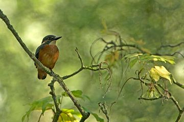 Ijsvogel van sjaak vogel
