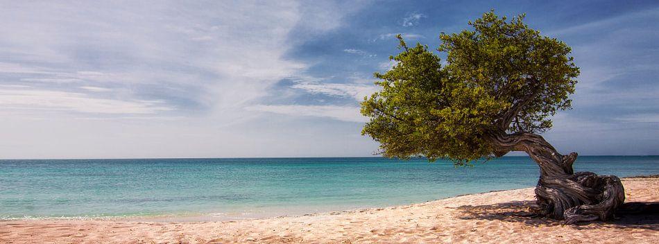 Divi Divi boom op Aruba van Jaap van Lenthe