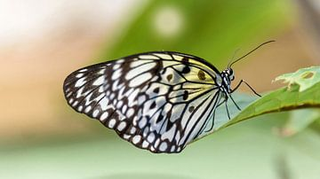 Schwarzer weißer Schmetterling, Borboleta von Rietje Bulthuis