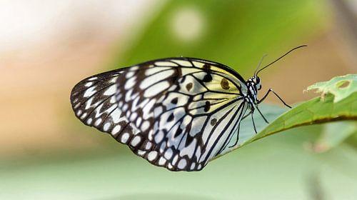 Zwart witte vlinder, borboleta
