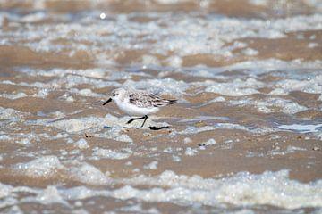 Kleine drieteenstrandloper op het strand van Texel van Maurice De Vries
