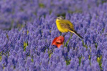 Gele kwikstaart in bollenveld van Jaap La Brijn
