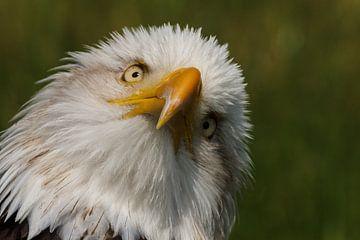 Weißkopfseeadler von Arjan van de Logt