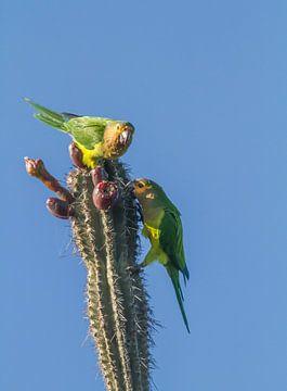 Brown-throated Parakeet van Ruurd van der Meulen