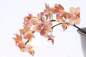 Phalaenopsis orchidee van