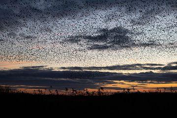 Spreeuwenzwermen bij zonsondergang van Andius Teijgeler