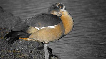 vogel van Q Poulo