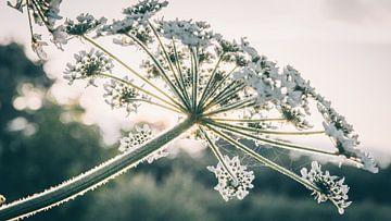 Nahaufnahme einer Bärenklau-Blüte von ElkeS Fotografie