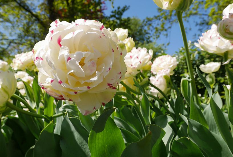 weiße Tulpe von Carola van Rooy