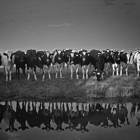 Koeien aan de waterkant van Kas Maessen