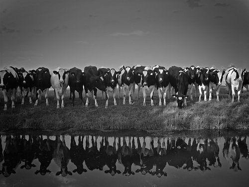Koeien aan de waterkant van