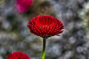 Rode bloem van Foto Oger