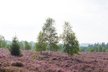 Heidelandschaft mit Morgennebel, Heiedeblüte, Niederhaverbeck, Naturpark Lüneburger Heide, Niedersac von Torsten Krüger