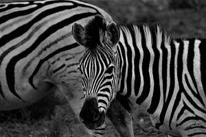 Zebra in Afrika von Christiaan Van Den Berg