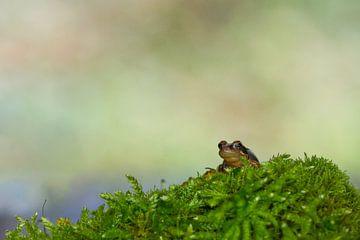 Rana temporaria (Grasfrosch) von Ursula Di Chito
