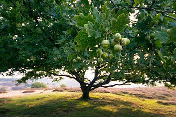 eikenboom perspectief von Harm Klaverdijk