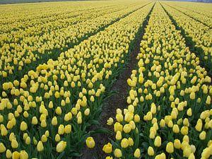 Bollenvelden Dutch flower fields